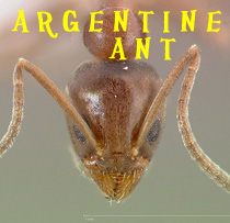 pest-control-argentine-ant-head-ant-web